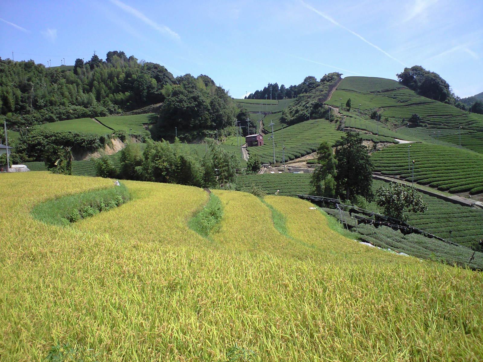 こがねに色づく田んぼと茶畑