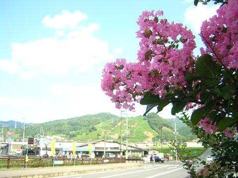 茶畑と百日紅(さるすべり)