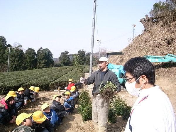 小学三年生、茶苗の植林体験